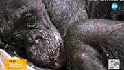 ТРОГАТЕЛНО: Как болна маймуна реагира, виждайки любим човек