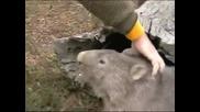 Австралийски Домашни Любимци - Wombats
