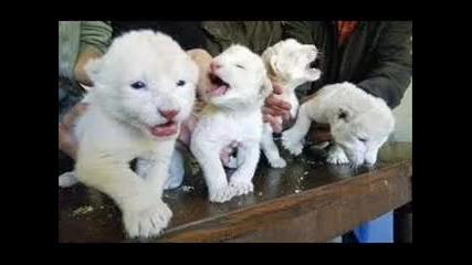Снимки на лъвове,леопарди,пантери,пуми,тигри!!!