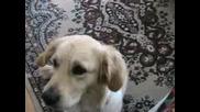 Кучето Голди Казва Моля