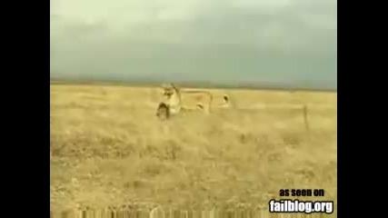 Смях - Лъв бяга от жертвата си!