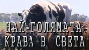 Най-голямата крава в света
