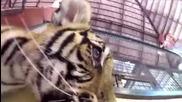 Сладки тигърчета си играят със камера Gopro