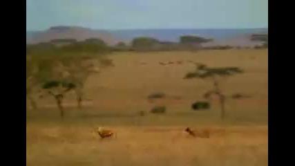 Гладен циганин надбягва леопард - Пародия