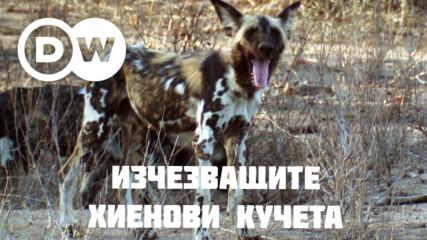 Хиеновите кучета - едни от най-застрашените хищници