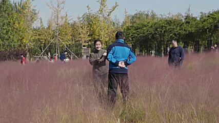 Sea of mesmerising pink muhly grass enchants park visitors in China