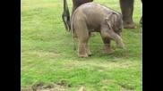 Малко слонче се опитва да ходи!