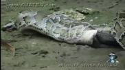 Питон поглъща цял алигатор