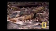 Кралска кобра в действие