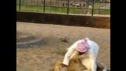 Луд арабин си играе с лъв и накрая го язди