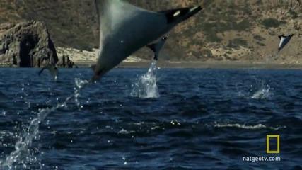 Стотици хиляди скатове ''летят'' над океана ..