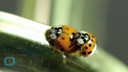 72,000 Ladybugs Released in High School Senior Prank
