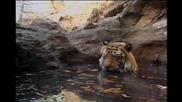Красотата на Тигъра