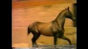 Akhal Teke Horse - Mamuk