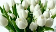 Giovanni Marradi - Petite Fleure - White tulips