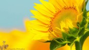 Светло жълти цветове