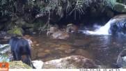 Meчка учи малкото си да преминава през река ,но . . . .
