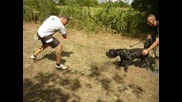Кане Корсо - Cane Corso - тренировка