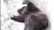 мъжка мечка