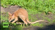 Германия: Осиротялото кенгуру Монти подскача из заграждение в берлинският зоопарк