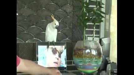 Луд папагал пее Гангнам стиле