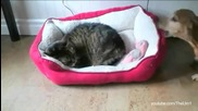 Котки превземат леглата на кучета - Компилация