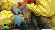 USA: Oil-slicked pelicans cleaned up from Santa Barbara spill