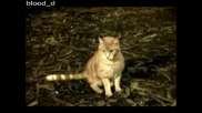 Котката Ласи