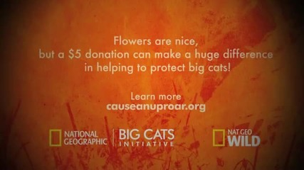 Big Cats Love - Cheetah