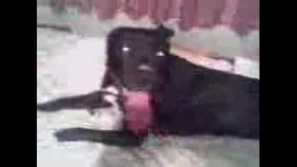 Моето Куче - Хера Пит Бул