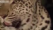 Вижте какво се случи между леопард и маймуна!