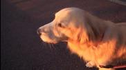 Смях ... Куче имитира сирена !!!