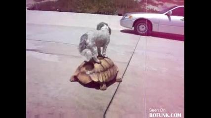 Куче язди голяма костенурка