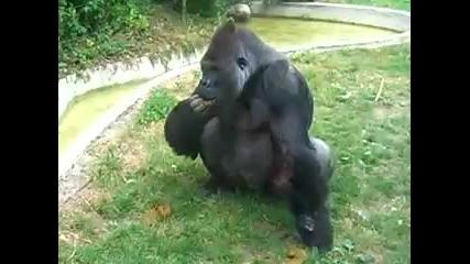 Crazy gorilla eating his own poo