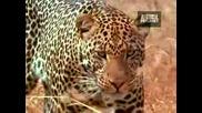 Леопардите -