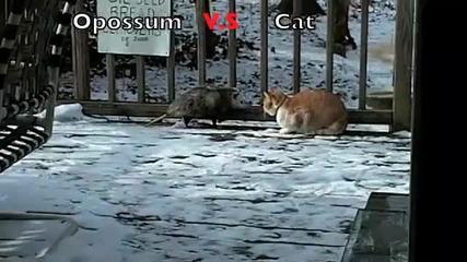 Котка пребива опосум, десен ляв, ляв десен