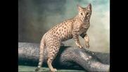 Породи Котки