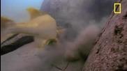 Цихлида срещу Морски костенурки