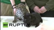 Две сладки ягуарчета в зоологическата градина в Санкт Петербург