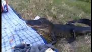 Хората отидоха на пикник, а алигаторът им изяде храната