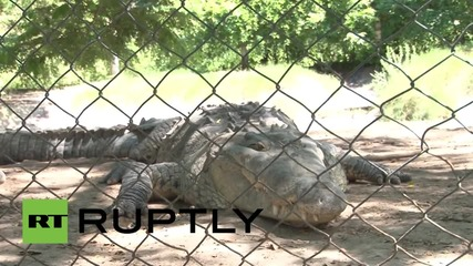 Honduras: Thousands of crocodiles starve after U.S. sanctions target family