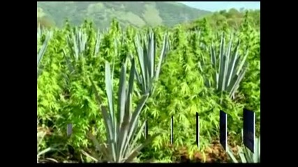 Унищожиха над 40 тона марихуана в Мексико