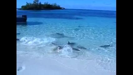 Гладни акули на брега!