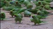 Ето как се хранят диви папагали