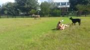 Блондинка се опитва да язди магаре