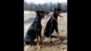 Pitbulls, Dobermans And Rottweilers