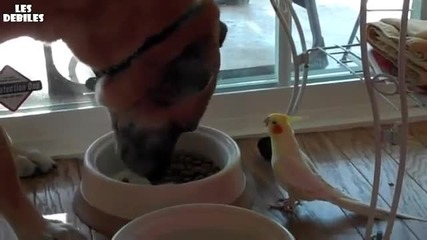 Папагал подсвирква на куче докато яде