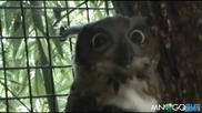 Надъханата сова - Смях