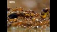 Мравки си правят спасителна лодка...
