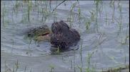 Агресивният, но грижовен баща - жаба бик
